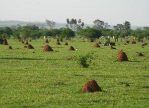 Pastvina pod vládou cupins, Mato Grosso do Sul