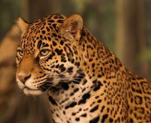 Onça pintada v celé své kráse (foto tentokrát není vlastní, ale ze stránky: http://www.infoescola.com/mamiferos/onca-pintada/)