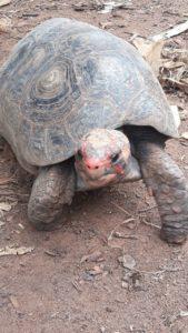 brazilská želva jabuti